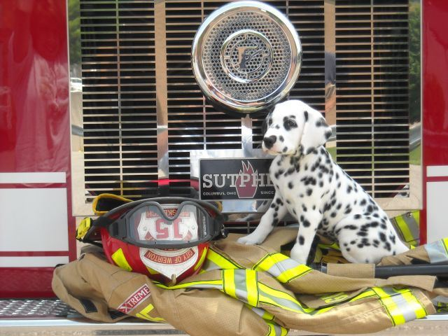Fire Department Dalmation Sits on Fire Uniform